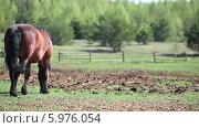 Купить «Лошадь пасется на лугу», видеоролик № 5976054, снято 4 июня 2014 г. (c) Кекяляйнен Андрей / Фотобанк Лори