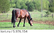 Купить «Гнедая лошадь на пастбище», видеоролик № 5976154, снято 5 июня 2014 г. (c) Кекяляйнен Андрей / Фотобанк Лори
