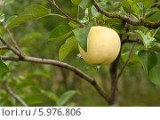 Купить «Спелое яблоко на ветке», фото № 5976806, снято 20 июля 2013 г. (c) Наталья Двухимённая / Фотобанк Лори