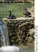 Купить «Два чёрных лебедя на камнях у воды», эксклюзивное фото № 5977010, снято 16 апреля 2014 г. (c) Dmitry29 / Фотобанк Лори