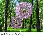 Купить «Лук афлатунский (A. aflatunense, или А. hollandicum) на фоне красивого леса», эксклюзивное фото № 5977254, снято 23 мая 2014 г. (c) lana1501 / Фотобанк Лори