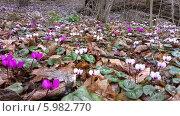 Цветущие весенние цикламены в лесу. Стоковое фото, фотограф Мартынова Наталия / Фотобанк Лори