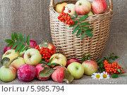 Купить «Натюрморт из разных сортов яблок в корзине», эксклюзивное фото № 5985794, снято 5 сентября 2012 г. (c) Lora / Фотобанк Лори