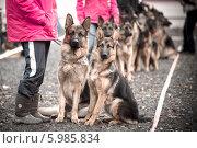 Группа собак  немецкая овчарки. Редакционное фото, фотограф Петров Игорь Алексеевич / Фотобанк Лори