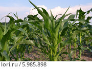 Молодая кукуруза на поле. Стоковое фото, фотограф Роман Коваленко / Фотобанк Лори