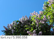 Сирень. Стоковое фото, фотограф Светлана Головченко / Фотобанк Лори