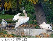 Купить «Пеликаны», эксклюзивное фото № 5990522, снято 11 октября 2008 г. (c) Svet / Фотобанк Лори
