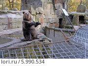 Купить «Бурый медведь», эксклюзивное фото № 5990534, снято 11 октября 2008 г. (c) Svet / Фотобанк Лори