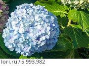 Цветок голубой гортензии. Стоковое фото, фотограф Ilya Druzhinin / Фотобанк Лори