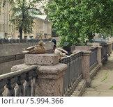 Купить «Городские утки», фото № 5994366, снято 7 июня 2014 г. (c) Татьяна Чепикова / Фотобанк Лори