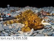 Скорпена лежит на камнях с приманкой во рту, на фоне удилища. Стоковое фото, фотограф Алексей Попов / Фотобанк Лори