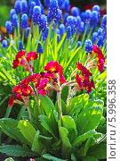 Купить «Первоцвет, или Примула (Primula) — род растений из семейства Первоцветные (Primulaceae) порядка Верескоцветные (Ericales). Цветущий куст на фоне Мускарей», эксклюзивное фото № 5996358, снято 17 марта 2012 г. (c) Евгений Мухортов / Фотобанк Лори