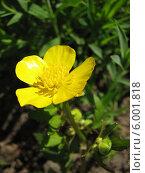 Купить «Лютик ползучий - Ranunculus repens», фото № 6001818, снято 12 июня 2014 г. (c) Беляева Наталья / Фотобанк Лори