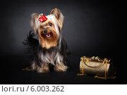 Йоркширский терьер с сумочкой. Стоковое фото, фотограф Olga Taranik / Фотобанк Лори