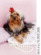Модная собачка на подушке. Стоковое фото, фотограф Olga Taranik / Фотобанк Лори
