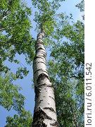 Высокое дерево, эксклюзивное фото № 6011542, снято 8 июня 2014 г. (c) Юрий Морозов / Фотобанк Лори