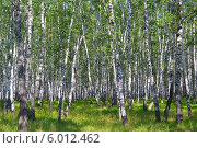 Купить «Березовый лес летом», фото № 6012462, снято 29 мая 2020 г. (c) Землянникова Вероника / Фотобанк Лори