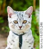 Купить «Светлый породистый кот на улице», эксклюзивное фото № 6013246, снято 24 мая 2014 г. (c) Игорь Низов / Фотобанк Лори
