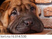 Купить «Портрет щенка шарпея», фото № 6014530, снято 24 октября 2013 г. (c) Михаил Панфилов / Фотобанк Лори