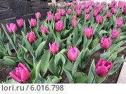Розовые тюльпаны. Стоковое фото, фотограф Виктория Деркач / Фотобанк Лори