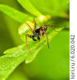 Купить «Лесной паук сидит на зелёном листе растения», эксклюзивное фото № 6020042, снято 20 мая 2014 г. (c) Игорь Низов / Фотобанк Лори