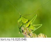 Большой кузнечик. Саранча сидит на ветке растения. Стоковое фото, фотограф Игорь Низов / Фотобанк Лори