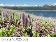Купить «Ива арктическая», фото № 6025502, снято 13 июня 2014 г. (c) А. А. Пирагис / Фотобанк Лори