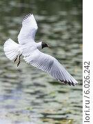 Озерная чайка с расправленными крыльями, летящая над водой слева направо. Стоковое фото, фотограф Борис Смирин / Фотобанк Лори