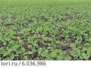 Ростки сои на зеленом поле. Стоковое фото, фотограф Дмитрий Бурлаков / Фотобанк Лори