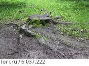 Купить «Пень», фото № 6037222, снято 24 июня 2014 г. (c) Захарова Татьяна / Фотобанк Лори