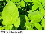 Зелёные листья и маленькая стрекоза. Стоковое фото, фотограф Анастасия Филиппова / Фотобанк Лори