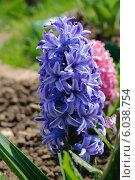 Синий гиацинт восточный (Hyacinthus orientalis) Стоковое фото, фотограф Алёшина Оксана / Фотобанк Лори
