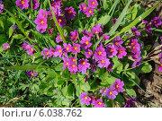 Купить «Цветущая примула (Primula)», эксклюзивное фото № 6038762, снято 2 мая 2014 г. (c) Алёшина Оксана / Фотобанк Лори