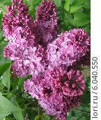 Сирень цветущая весной на ветке дерева ароматным фиолетовым букетом. Стоковое фото, фотограф ангелина кочугуева / Фотобанк Лори