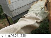 Пчела севшая на перчатке. Стоковое фото, фотограф Денис Кошель / Фотобанк Лори
