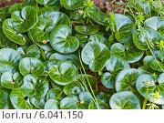 Купить «Трава Копытень», фото № 6041150, снято 27 мая 2014 г. (c) Владимир Федечкин / Фотобанк Лори