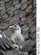 Купить «Птенцы черного Грифа», эксклюзивное фото № 6047182, снято 5 июня 2014 г. (c) Дмитрий Неумоин / Фотобанк Лори