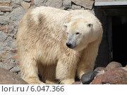 Купить «Белый медведь в зоопарке», эксклюзивное фото № 6047366, снято 5 июня 2014 г. (c) Дмитрий Неумоин / Фотобанк Лори