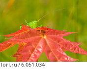 Саранча выглядывает из-за листа клёна. Стоковое фото, фотограф Игорь Низов / Фотобанк Лори