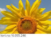 Купить «Пчела на цветке подсолнуха», фото № 6055246, снято 13 июля 2013 г. (c) Наталья Уварова / Фотобанк Лори