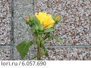 Купить «Желтая роза», фото № 6057690, снято 29 июня 2014 г. (c) Ivanova Irina / Фотобанк Лори
