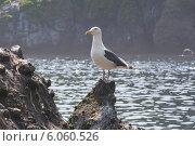 Купить «Тихоокеанская морская чайка», фото № 6060526, снято 27 июня 2012 г. (c) Ирина Яровая / Фотобанк Лори