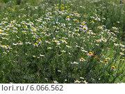 Ромашка аптечная[(Matricаria chamomilla) — однолетнее травянистое растение; вид рода Ромашка (Matricaria) семейства Астровые (Сложноцветные). Общий вид растения. Стоковое фото, фотограф Евгений Мухортов / Фотобанк Лори