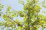 Купить «Спелые вишни на ветках дерева на фоне голубого неба», фото № 6068070, снято 1 июля 2014 г. (c) Екатерина Овсянникова / Фотобанк Лори