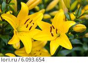 Купить «Желтые лилии, крупный план», фото № 6093654, снято 6 июля 2014 г. (c) Екатерина Овсянникова / Фотобанк Лори