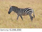 Саванная зебра (2012 год). Стоковое фото, фотограф Ерошкина Ольга / Фотобанк Лори