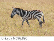 Купить «Саванная зебра», фото № 6096890, снято 25 августа 2012 г. (c) Ерошкина Ольга / Фотобанк Лори