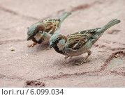 Купить «Городские воробьи кормятся крошками хлеба», фото № 6099034, снято 16 июня 2014 г. (c) Сергей Великанов / Фотобанк Лори