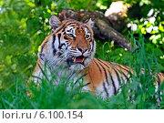 Купить «Тигр лежит в траве», фото № 6100154, снято 1 января 2012 г. (c) Эдуард Кислинский / Фотобанк Лори