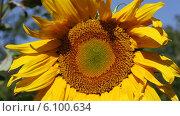 Купить «Подсолнух крупным планом, обдуваемый ветром», видеоролик № 6100634, снято 6 июля 2014 г. (c) V.Ivantsov / Фотобанк Лори